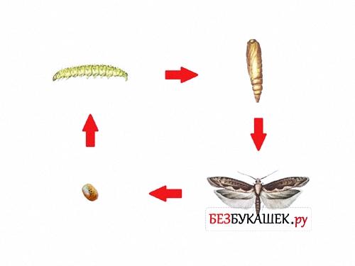 Вот так выглядит цикл жизни капустной моли