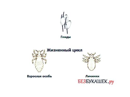 Жизненный цикл бельевой вши