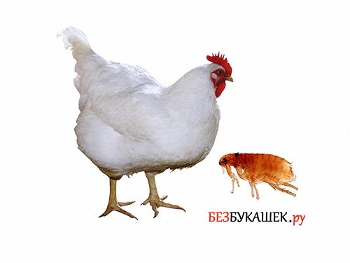 Курица и блоха