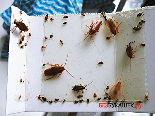 Тараканы приклеились к картонной ловушке