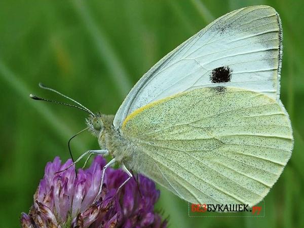 Вот так выглядит бабочка капустница