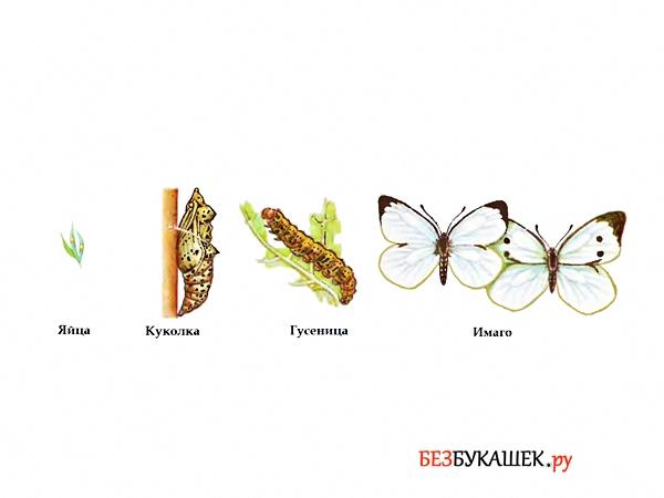 Вот так выглядит жизненный цикл бабочки капустницы