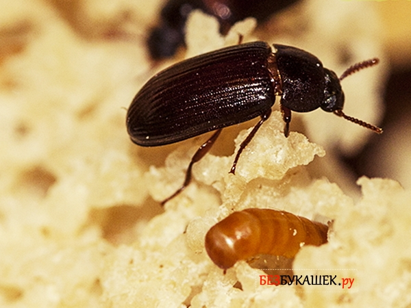 Вот так выглядит жук-знахрь