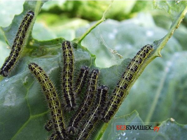 Гусеницы бабочки капустницы поедают листья капусты