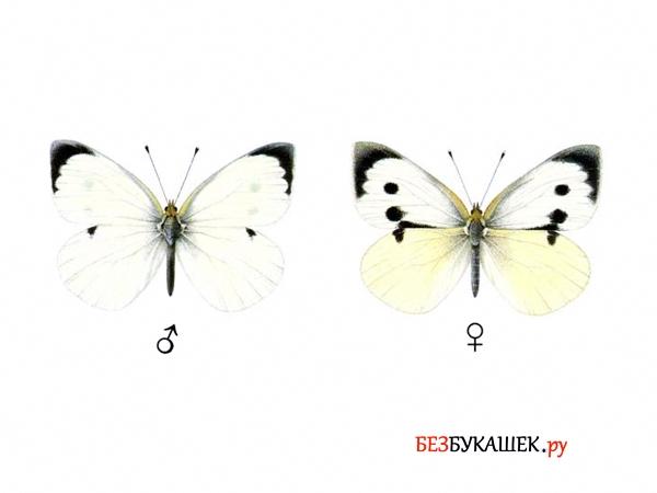 Самец и самка бабочки капустницы