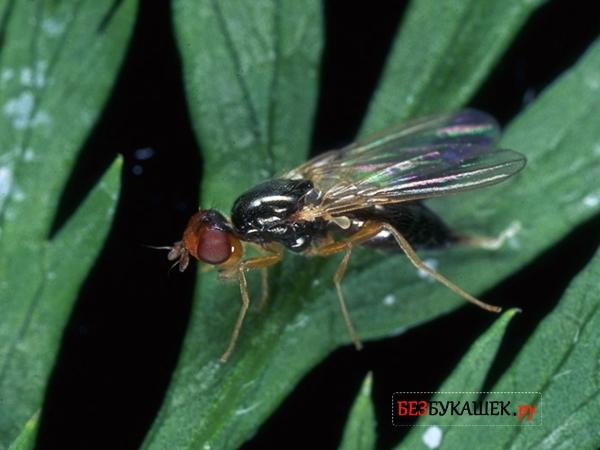 Основной вред наносит не морковная муха, а ее личинка. Однако бороться необходимо именно с имаго, т.к. они способны откладывать яйца на протяжении всего вегетационного периода растений.