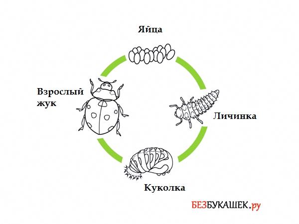 Жизненный цикл божьей коровки
