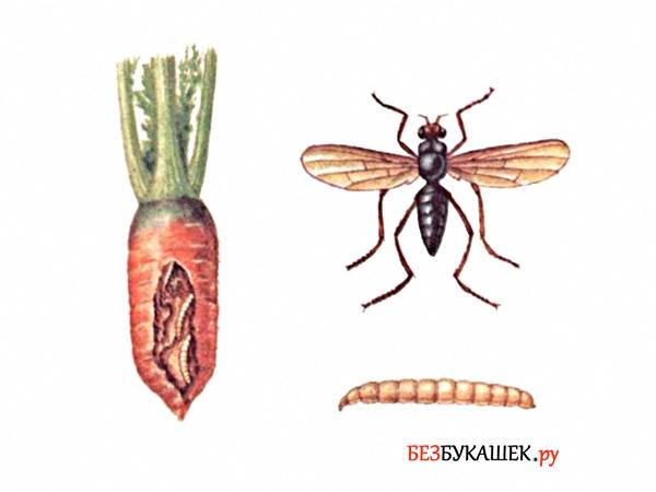 Морковная муха и вред от нее