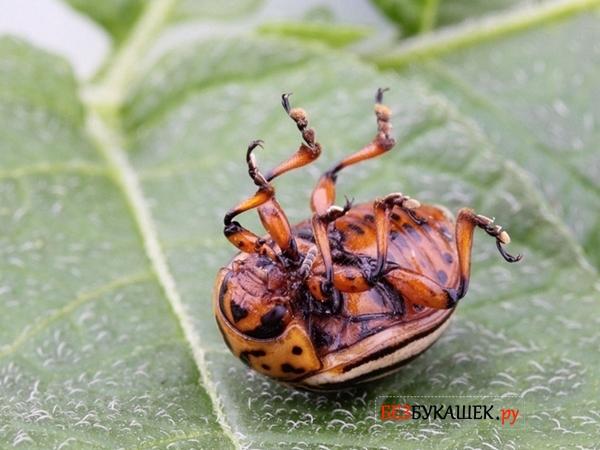 Отравленный колорадский жук