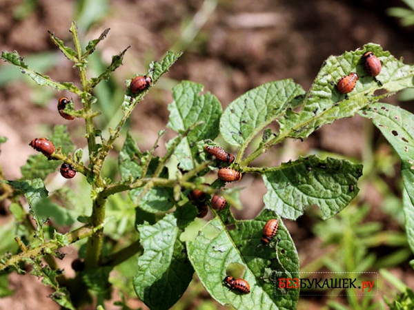 Повреждения от колорадского жука