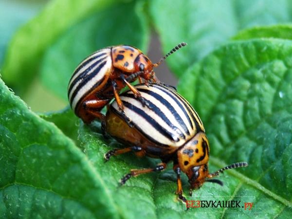Процесс размножения колорадского жука