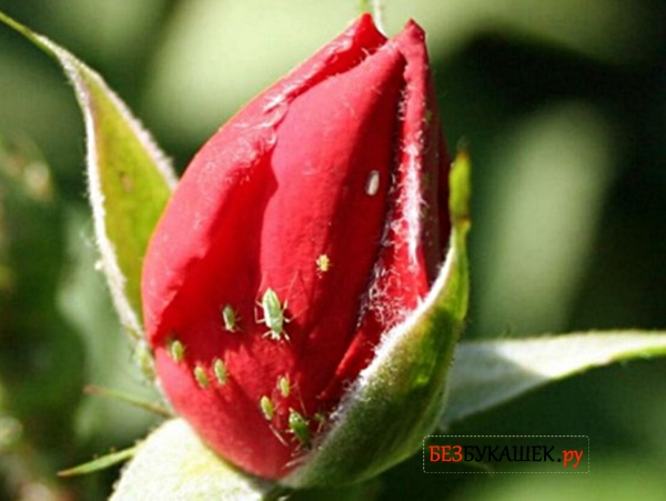 Тля на розе