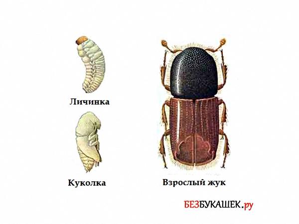 Три стадии развития жука типографа