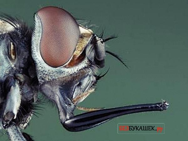 Хоботок мухи жигалки