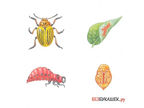 4 стадии развития колорадского жука