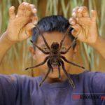 Самые огромные пауки мира