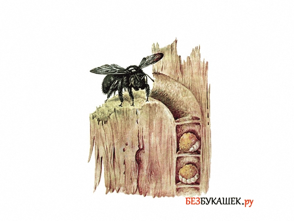 Вот так выглядит гнездо древесной пчелы в стене деревянного дома