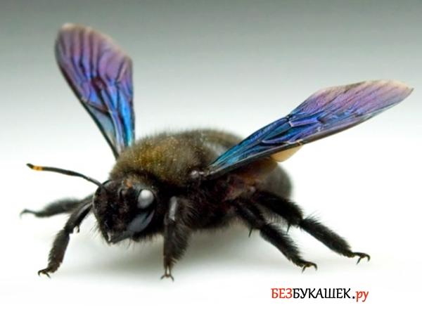 Вот так выглядит древесная пчела
