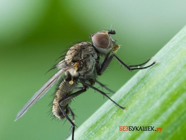 Вот так выглядит луковая муха