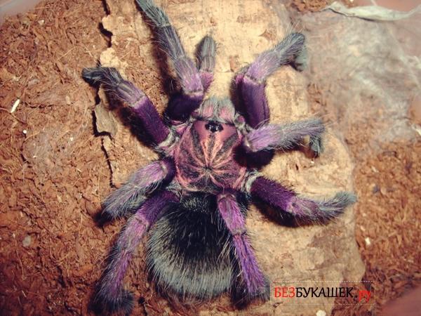 Вот так выглядит фиолетовый паук-птицеед