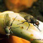 Как избавиться от луковой мухи на луке самостоятельно