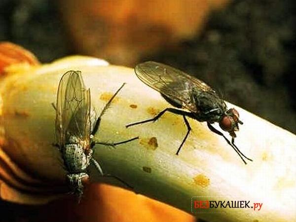 Две луковые мухи на луковице