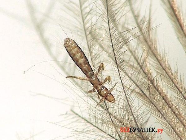 Пероед на перьях