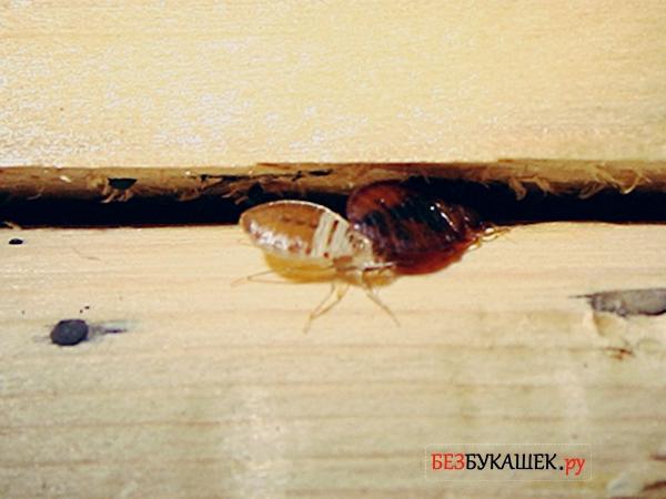 Постельный клоп и личинка постельного клопа заползают в щель