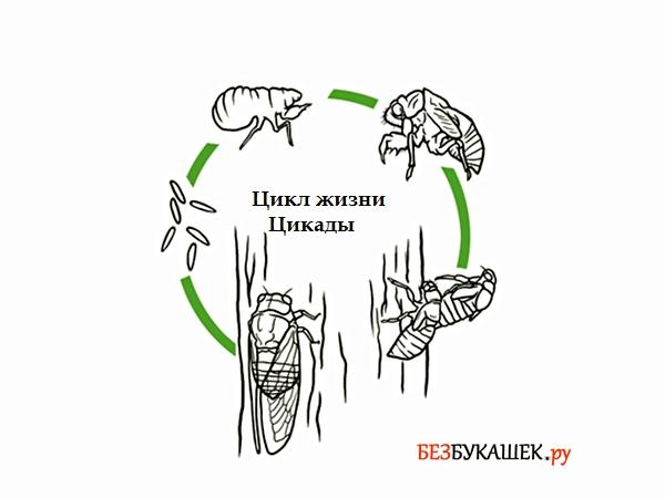 Этапы развития цикады