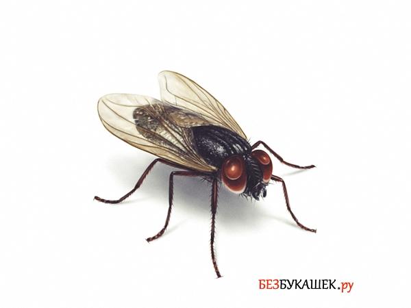 Вот так выглядит комнатная муха