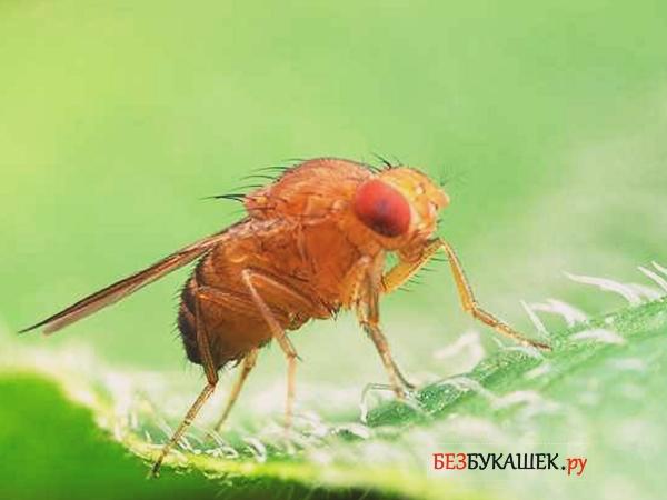 Вот так выглядит муха дрозофила