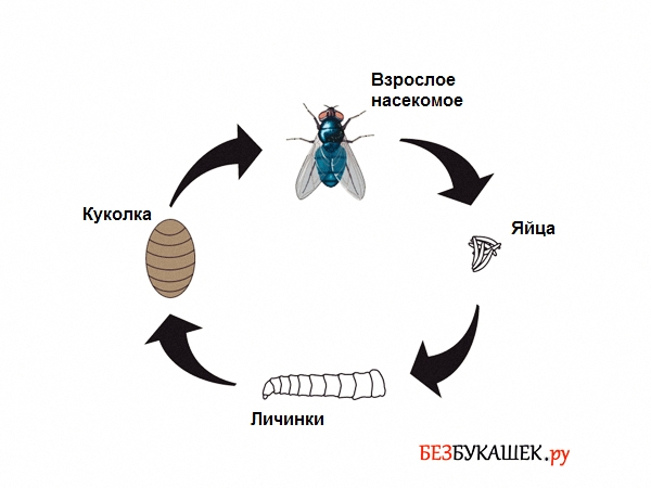 Вот так выглядит цикл жизни мух