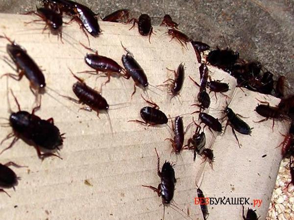 Много черных тараканов