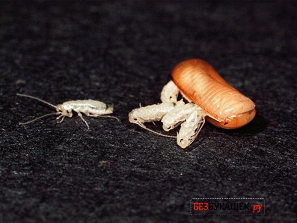 Появление тараканов из оотеки