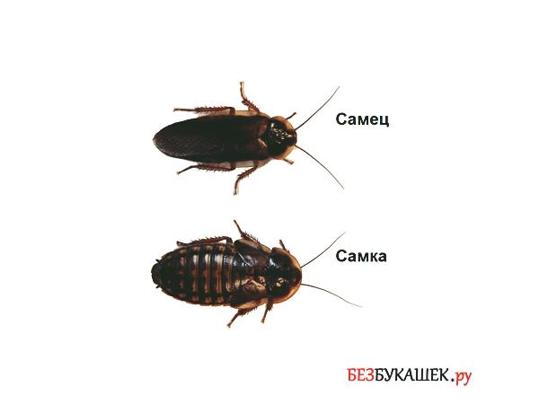 Различие между самцом и самкой у тараканов