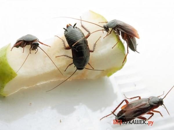 Тараканы черного цвета едят грушу