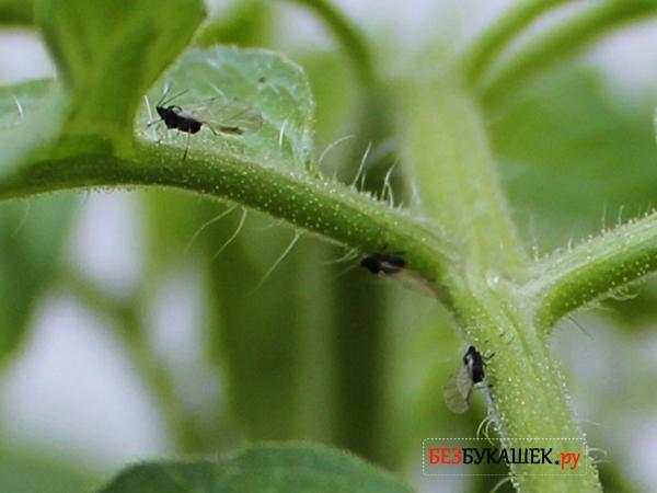 Черные мошки сидят на помидорах