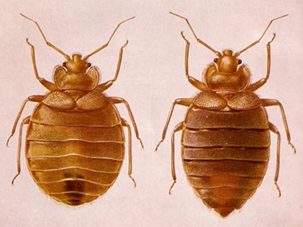 Вот так выглядят самец и самка домашнего клопа