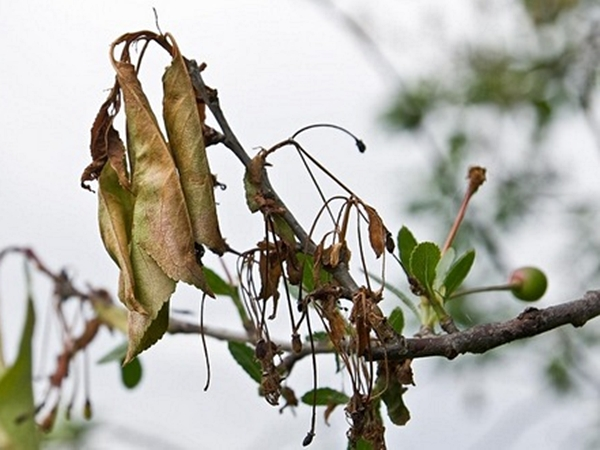 Листья вишни повяли