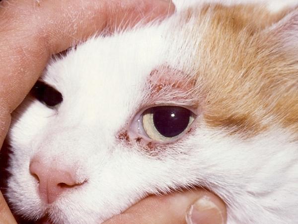Визуальные признаки наличия подкожного клеща у кошки