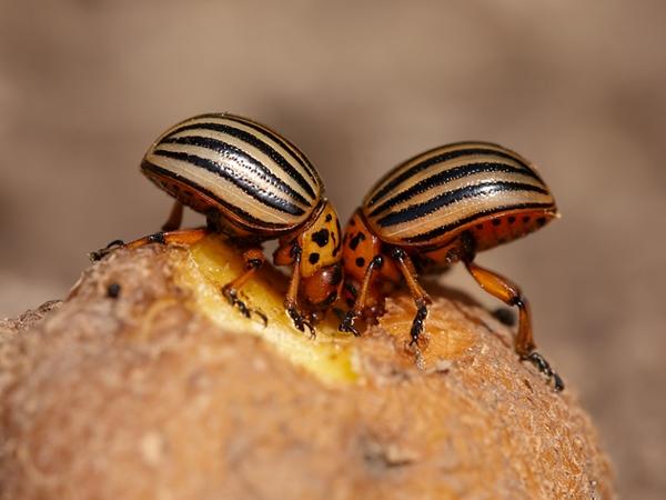 Два колорадских жука лакомятся клубнем картофеля