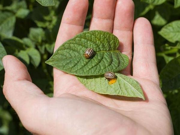 Найдены колорадские жуки на ботве картофеля