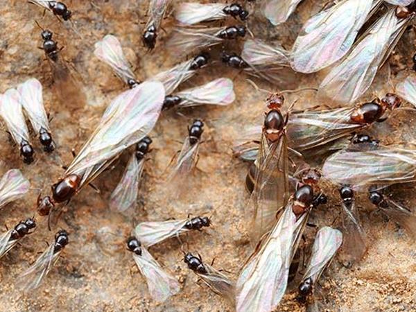 Большое количество муравьев с крыльями