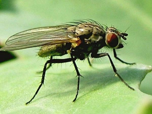 Вот так выглядит капустная муха