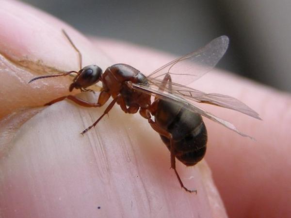Вот так выглядят муравьи с крыльями