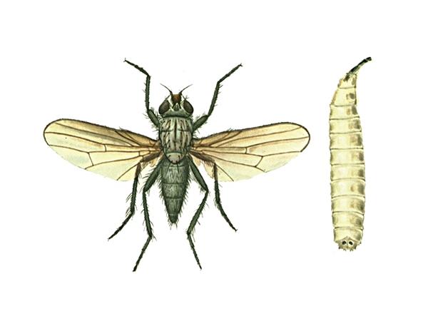 Капустная муха и ее личинка