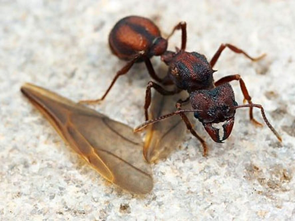 Самка муравья отгрызла себе крылья