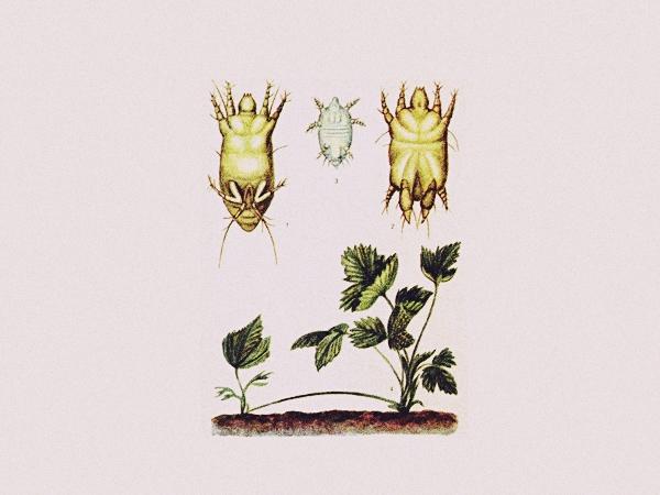 Посадочный материал зачастую становится причиной появления клеща на участке. В дальнейшем он распространяется через инструменты, а также – через усики. Не переносит прямых солнечных лучей, но любит влажность и тепло. Этим объясняется их локализация в молодых, еще не развернувшихся листочках. Не исключено появление на зрелых листьях, усиках и самих ягодах.