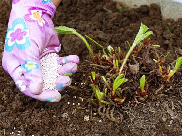 Удобрение кустов клубники после химической обработки