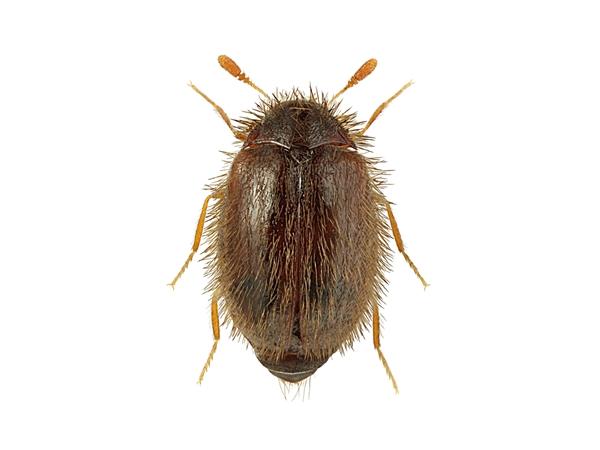 Вот так выглядит жук кожеед